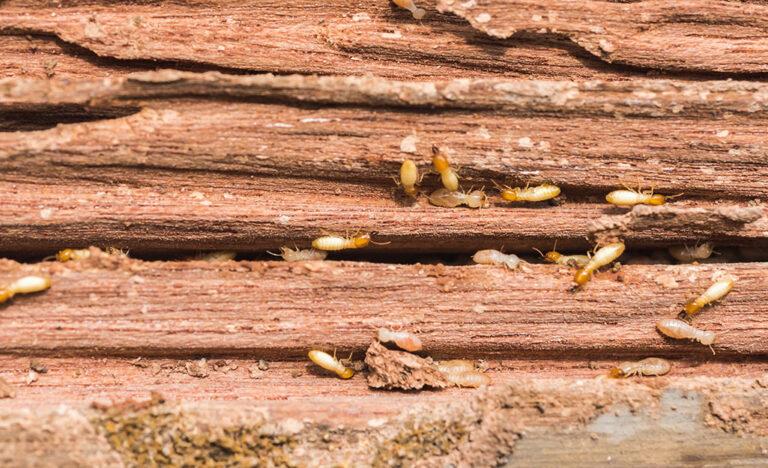 شركة مكافحة النمل الابيض بالجبيل 0506051316 رش النمل الابيض الارضة