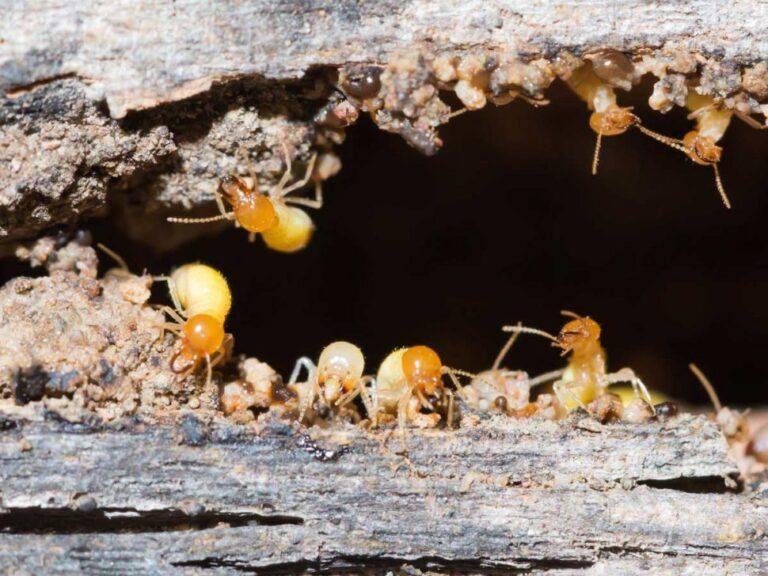 شركه مكافحه النمل الابيض بالقصيم 0500806539 رش النمل الابيض بالقصيم