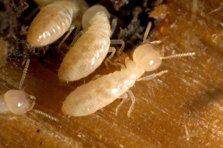 شركة مكافحة النمل الأبيض بالقطيف 0500806539 مكافحة الارضة بالقطيف
